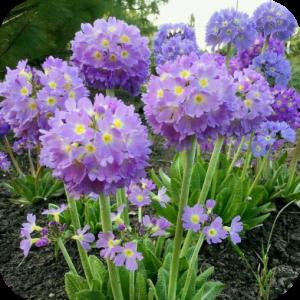 Саженец примулы Lilac