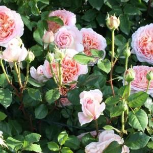 Саженец розы Абрахам Дерби