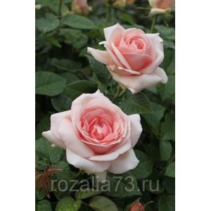 Саженец розы Афродита