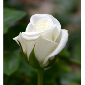Саженец розы Akito (Акито)