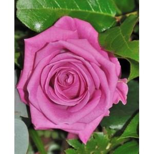 Саженец розы Аква