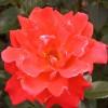Саженец розы Александр: фото и описание