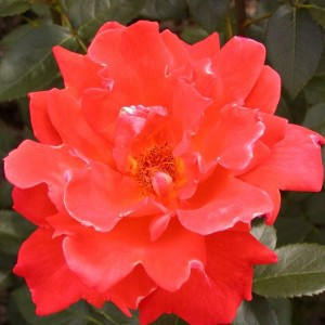 Саженец розы Александр