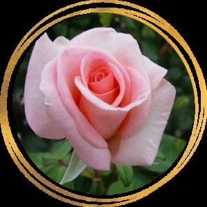 Саженец розы Александр Пушкин