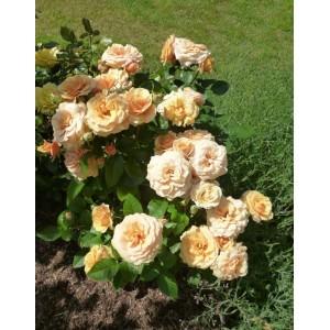 Саженец розы Александра Кордана