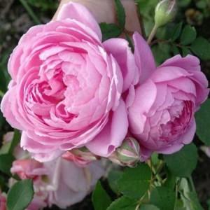 Саженец розы Аленушка