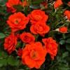 Саженец розы Алл Твиттер: фото и описание