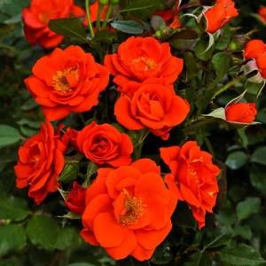 Саженец розы Алл Твиттер