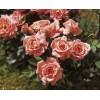 Саженец розы Аллегро Симфони: фото и описание