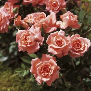 Саженец розы Аллегро Симфони