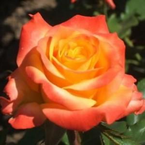 Саженец розы Альмер Голд
