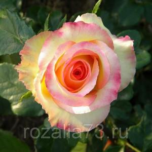 Саженец розы Амбианс