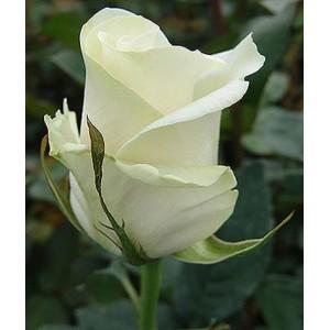 Саженец розы Амелия