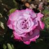 Саженец розы Аметист: фото и описание
