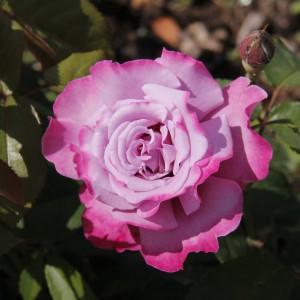 Саженец розы Аметист