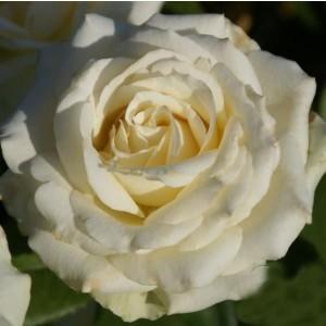 Саженец розы Анастасия