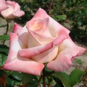 Саженец розы Анна