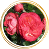 Саженец розы Антик 89: фото и описание