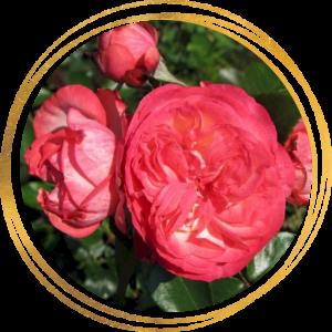 Саженец розы Антик 89