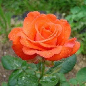 Саженец розы Анжелика