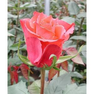 Саженец розы Апачи