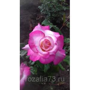 Саженец розы Арифа