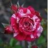 Саженец розы Arrow Follies (Арроу Фолиес): фото и описание