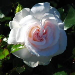 Саженец розы Аспирин Розе