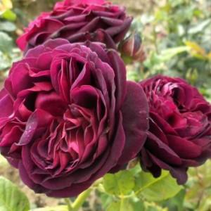 Саженец розы Астрид Графин фон Харденберг