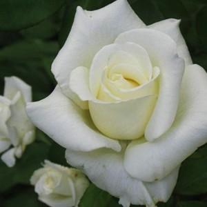 Саженец розы Атена