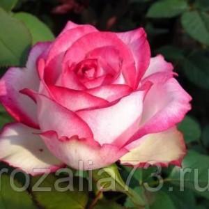 Саженец розы Аттракта