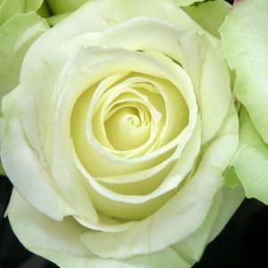 Саженец розы Аваланш