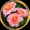Саженец розы Августа Луиза: фото и описание