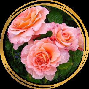 Саженец розы Августа Луиза