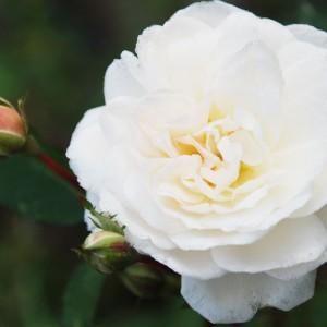 Саженец розы Айсберг
