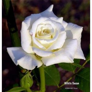 Саженец розы Белая лебедь