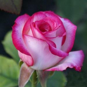 Саженец розы Белла Вита