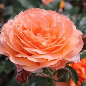 Саженец розы Бельведе