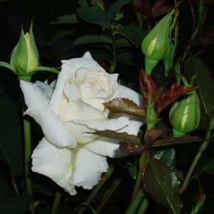 Саженец розы Бианка