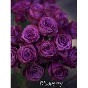 Саженец розы Блуберри