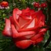 Саженец розы Blush (Блаш): фото и описание