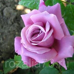 Саженец розы Блю Парфюм