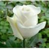 Саженец розы Боинг: фото и описание