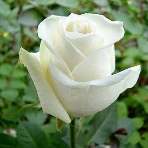 Саженец розы Боинг