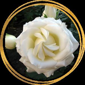 Саженец розы Боинг (ШРАБ)