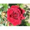 Саженец чайно-гибридной розы Бранденбург: фото и описание