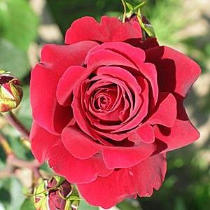 Саженец розы Бранденбург