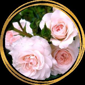 Саженец розы Бремен Штадтмузикантен