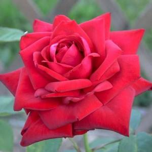 Саженец розы Бургунд 81