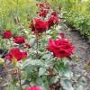 Саженец розы Черная магия: фото и описание
